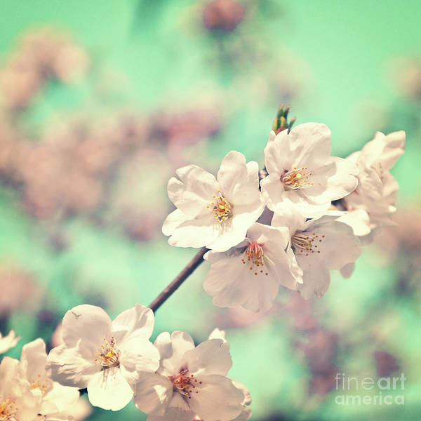 Cherry Trees Photograph - Spring Is Coming by Delphimages Photo Creations