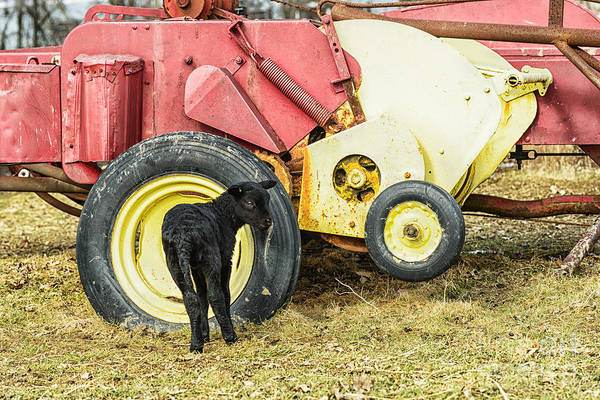 Photograph - Spring Lamb And Baler by Thomas R Fletcher