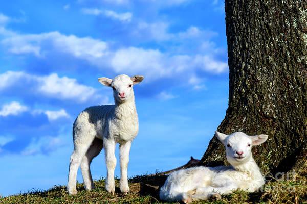 Photograph - Spring Lambs Evening Light by Thomas R Fletcher