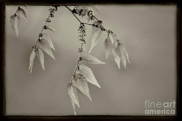 Photograph - Spring Leaves Sepia by Karen Adams