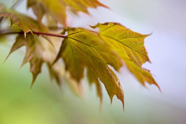 Photograph - Spring Leaves by Tom Singleton