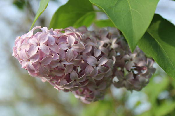 Wall Art - Photograph - Spring Lilac by Weathered Wood