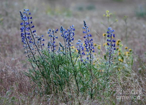 Photograph - Spring Lupines In Cheat Grass by Carol Groenen