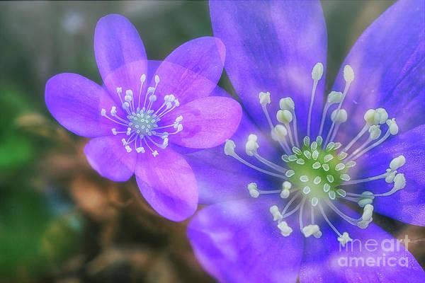 Anemone Photograph - Spring Magic 4 by Veikko Suikkanen