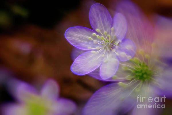 Anemone Photograph - Spring Magic by Veikko Suikkanen