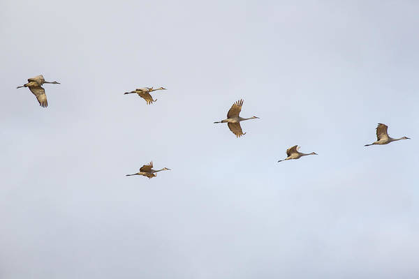 Photograph - Spring Migration 4 by Kathy Adams Clark