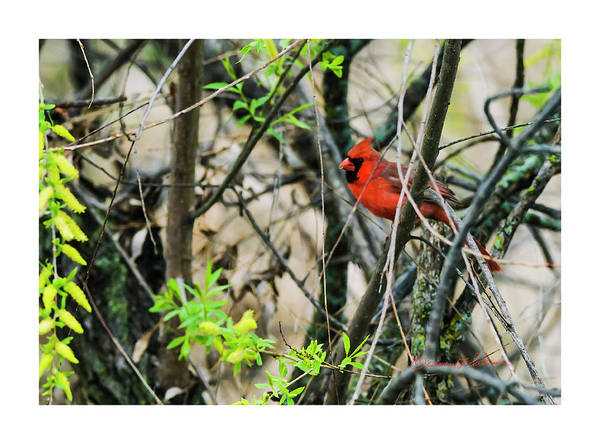 Photograph - Spring Northern Cardinal by Edward Peterson