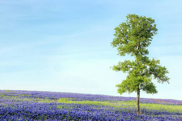 Photograph - Spring Oak And Bluebonnets In Texas by JC Findley