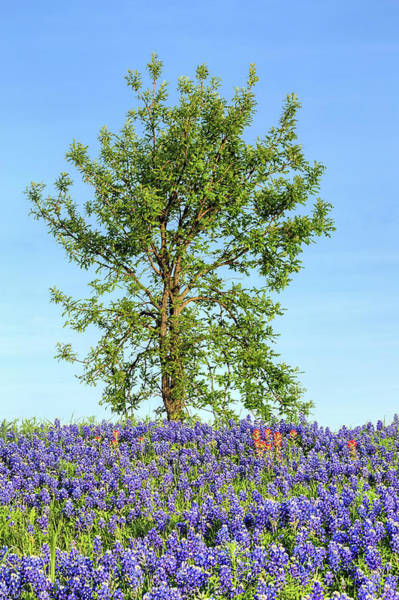 Photograph - Spring Oak And Bluebonnets by JC Findley