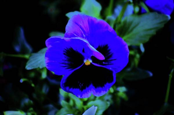 Photograph - Spring Pansy by Helen Carson