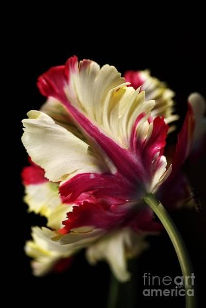Spring Parrot Tulip Art Print