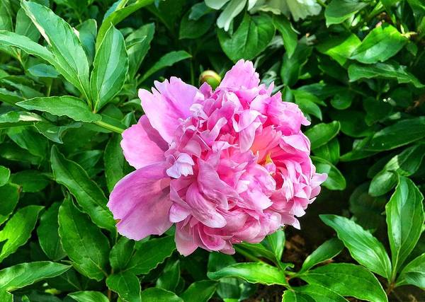 Photograph - Spring Peony by Chris Berrier