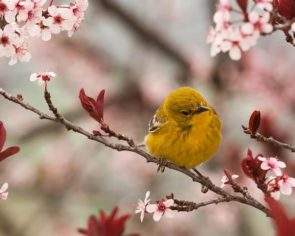 Photograph - Spring Pine Warbler 2 by Lara Ellis
