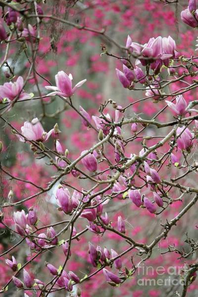 Saucer Magnolia Photograph - Spring Pink And Gray Branches by Carol Groenen