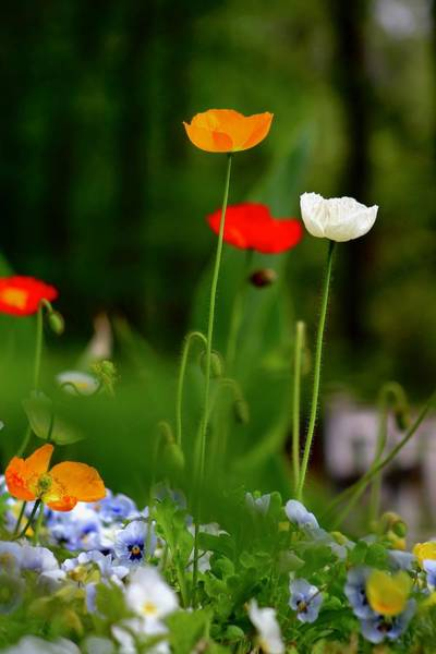 Wall Art - Photograph - Spring Poppies 2 by Kevin Wheeler