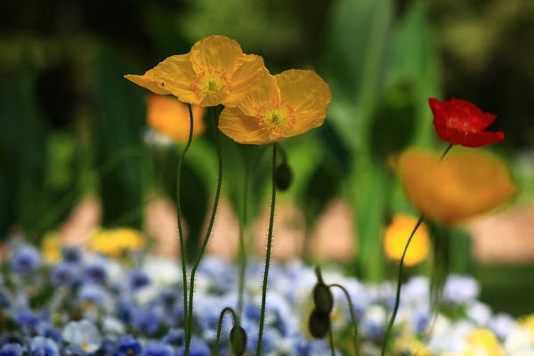 Wall Art - Photograph - Spring Poppies 3 by Kevin Wheeler