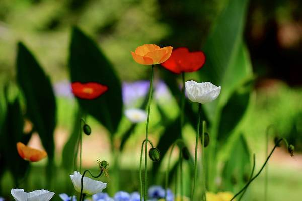 Wall Art - Photograph - Spring Poppies 4 by Kevin Wheeler