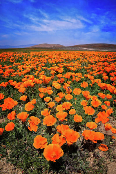 Photograph - Spring Poppies At The Reserve by Lynn Bauer