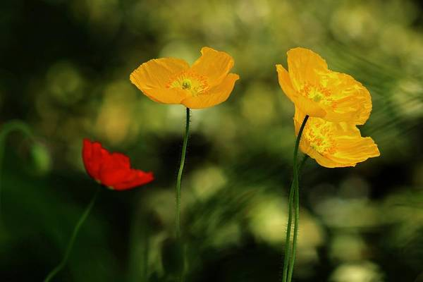 Wall Art - Photograph - Spring Poppies by Kevin Wheeler