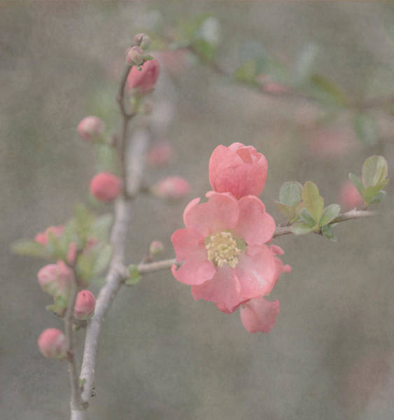 Quinces Photograph - Spring Quince by Angie Vogel