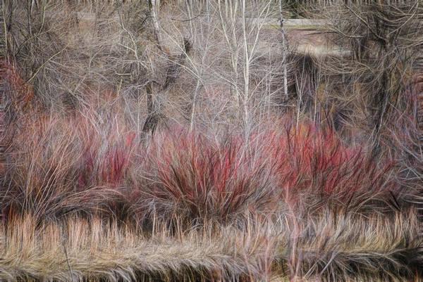 Photograph - Spring Red Bushes by Yulia Kazansky