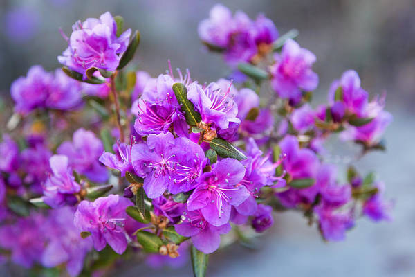 Photograph - Spring Rhododendron In Full Bloom by Victor Kovchin