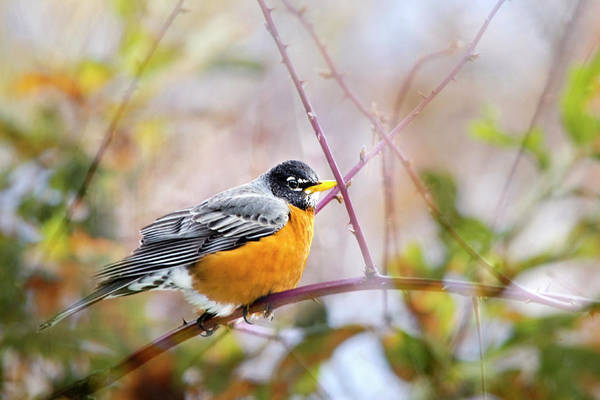 Photograph - American Robin In Spring by Christina Rollo