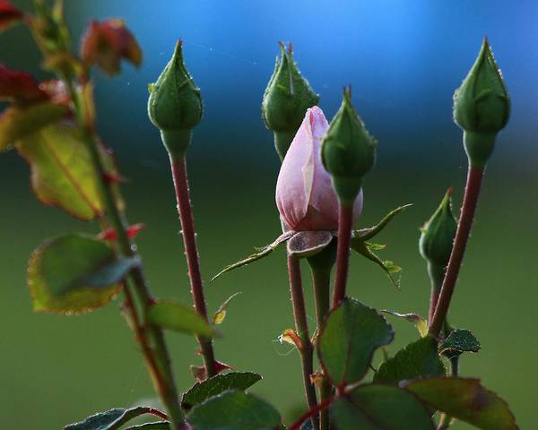 Wall Art - Photograph - Spring Rosebuds 2 by Kevin Wheeler