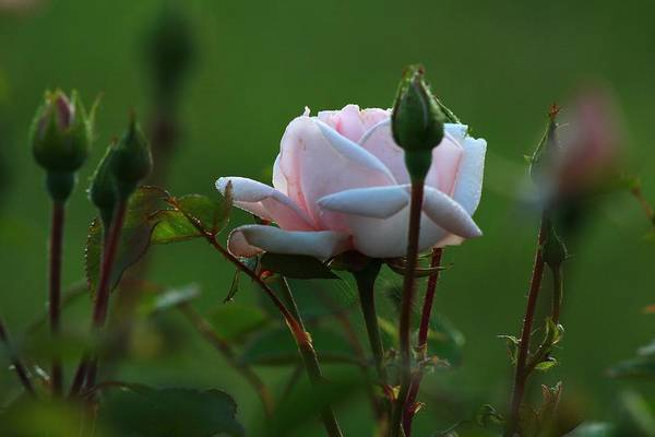 Wall Art - Photograph - Spring Roses 2 by Kevin Wheeler