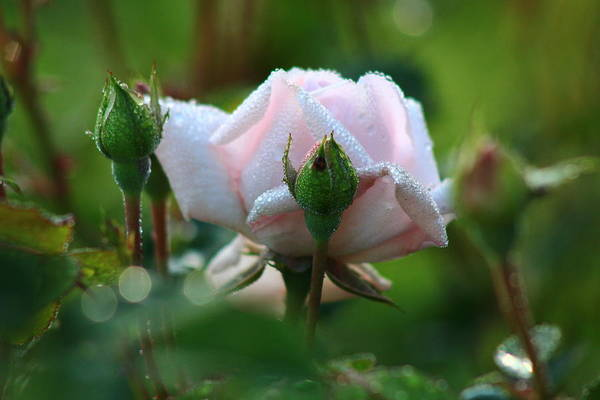 Wall Art - Photograph - Spring Roses 5 by Kevin Wheeler