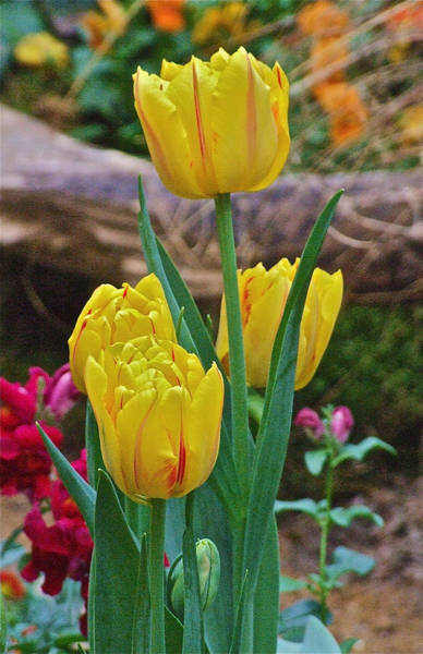 Photograph - Spring Show 13 Yellow Stripe Tulips  by Janis Nussbaum Senungetuk