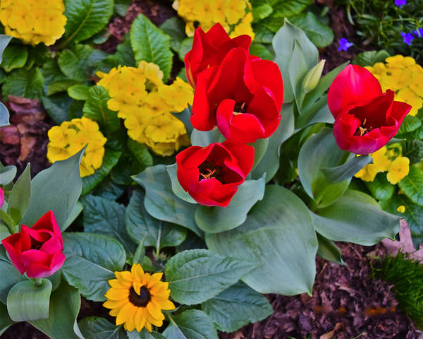 Photograph - Spring Show 15 Red Tulips And Primrose by Janis Nussbaum Senungetuk