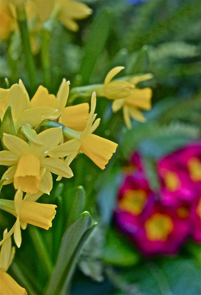 Photograph - Spring Show 16 Daffodils  And Primrose 2 by Janis Nussbaum Senungetuk