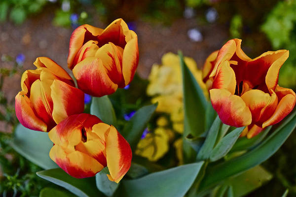 Photograph - Spring Show 16 Red And Yellow Tulips by Janis Nussbaum Senungetuk