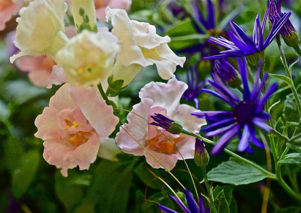 Photograph - Spring Show 16 Snapdragons And Cineraria by Janis Nussbaum Senungetuk