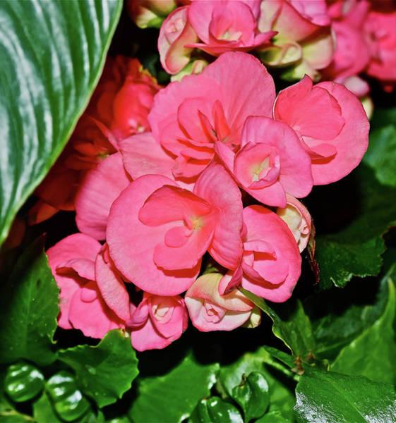 Photograph - Spring Show 16 Tuberous Begonias by Janis Nussbaum Senungetuk