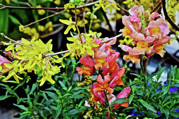Photograph - Spring Show 17 Forsythia And Snapdragons by Janis Nussbaum Senungetuk