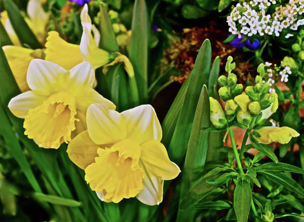 Photograph - Spring Show 17 Narcissus 1 by Janis Nussbaum Senungetuk
