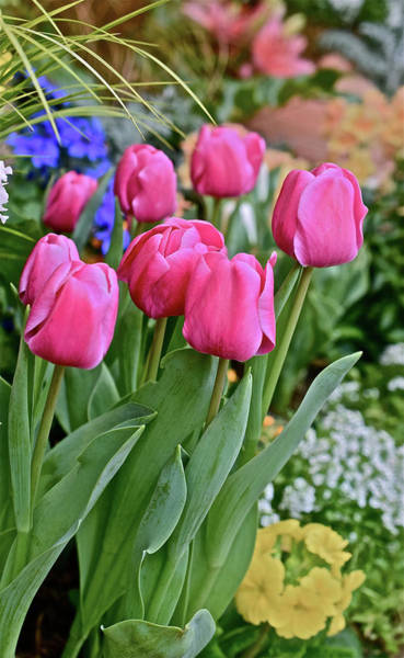 Photograph - Spring Show 17 Pink Tulips 1 by Janis Nussbaum Senungetuk