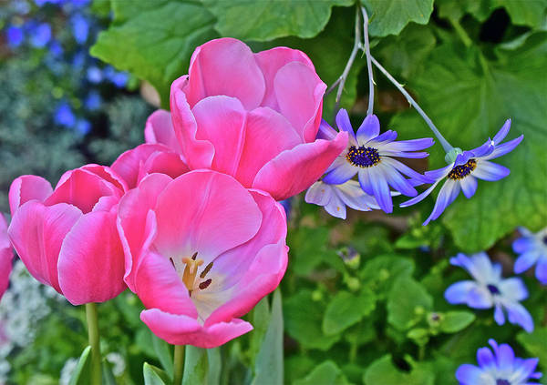 Photograph - Spring Show 17 Pink Tulips 3 by Janis Nussbaum Senungetuk