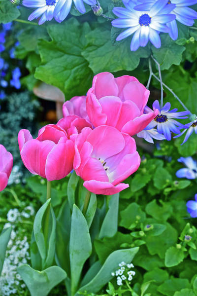 Photograph - Spring Show 17 Pink Tulips 4 by Janis Nussbaum Senungetuk
