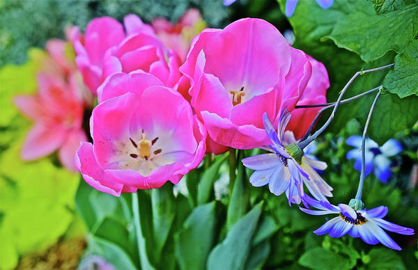 Photograph - Spring Show 17 Pink Tulips 5 by Janis Nussbaum Senungetuk