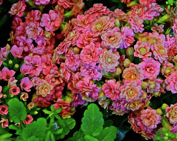 Photograph - Spring Show 18 Double Pink Kalanchoe by Janis Nussbaum Senungetuk