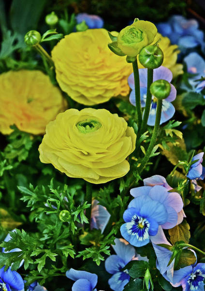Photograph - Spring Show 18 Persian Buttercup With Horned Viola by Janis Nussbaum Senungetuk