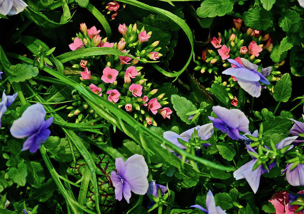 Photograph - Spring Show 18 Pink Kalanchoe And Viola by Janis Nussbaum Senungetuk
