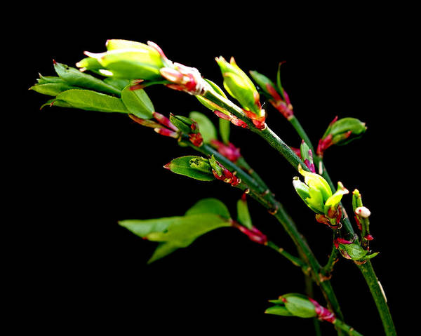 Photograph - Spring Shrub On Black by Denise Beverly
