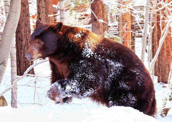 Herron Photograph - Spring Snowbound Bear by Mike Herron