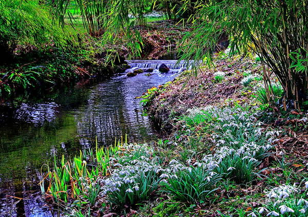 Photograph - Spring Snowdrops By Stream by Martyn Arnold