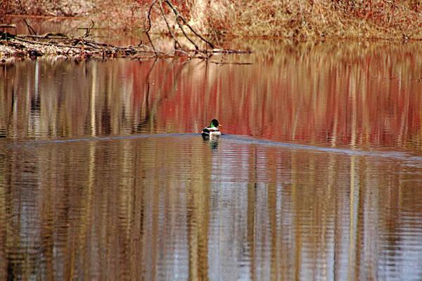 Greenhead Photograph - Spring Swim by Debbie Oppermann