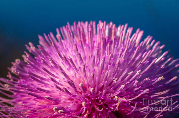 Photograph - Spring Thistle In Bloom by Tom Claud